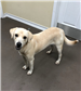 18-669 Mozart yellow Lab mix male 4-5 months old