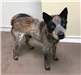 18-676 Banjo male Heeler mix grey/black/brown