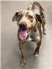 19-018 Herman adult male Catahoula with tan/brown/white dappled coat