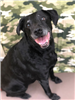 Duchess 19-023 senior female black Lab mix