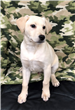 19-031 Remington white/tan male Lab mix pup