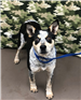 19-035 Violet tri-color female Heeler