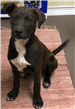 Mocha 19-050 Brown/white female Pit mix pup