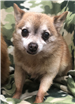 19-056 Cookie tan male senior Chihuahua