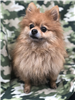 19-055 Peanut reddish tan senior male Pomeranian