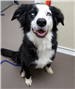 19-073 Babe black/white Border Collie mix