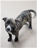 19-071 Yin female black/tan brindle with white markings - Pit Bull mix pup