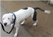 Ice 19-093  Black/white male Pit mix