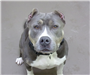 Dallas 19-092 grey/white female Pit with cropped ears