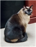 Taz 19-119 black/cream male Siamese sitting
