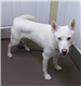 19-128 Snow female white Husky mix