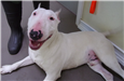 19-134 Brock white male Bull Terrier