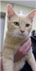 19-135 Rosco male orange striped cat