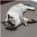 19-147 Fancy female Siamese or Ragdoll mix (Seal Point)