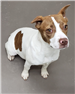 19-109 Cookie white w/ brown markings female Terrier mix - possible JRT