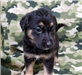 19-205 Jasmine black tan female Shepherd mix puppy