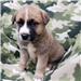 19-206 Rascal tan with black/white markings male Shepherd mix puppy