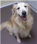 19-219 Apollo male Golden Retriever