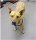 19-235 Forrest tan adult male Shepherd mix