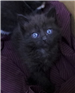 19-221 Ashley dark grey or black female kitten