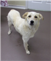 19-247 Pearl  female white/tan Pyrenees Retriever mix