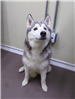19-252 Zarah adult female grey/white Husky mix