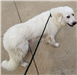 19-261 Nala white female Pyrenees mix