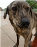 19-285 Nellie - female brindle Catahoula mix