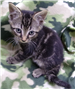 19-281 Arrow male grey/tan/black striped kitten