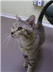 19-397 Clyde grey striped male cat