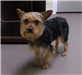 19-340 Harley male black/tan Yorkie