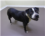 19-356 Josie black with white markings female Pit mix