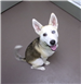 19-343 Lu female Husky mix - white brown tan - one blue eye