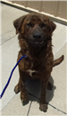 19-362 Bram Golden brown Dutch Shepherd male