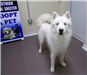 19-363 Casper white male Husky mix