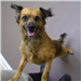19-394 Chester tan with black markings male Spaniel/Terrier mix