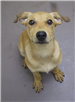 19-383 Harley female yellow Lab mix
