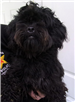 19-385 Remy female black/dark brown Maltipoo mix