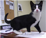 19-382 Mittens black/white male Tuxedo cat