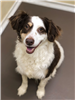 Chance 19-389 brown/white male Collie mix