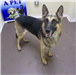 19-410 Bronco black/tan male German Shepherd