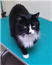 19-412 Richie long haired black and white male cat