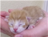 19-426 Muffin orange/white 1 day old kitten