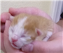 19-427 Puddin orange/white 1 day old kitten