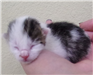 19-428 Dumplin white/black 1 day old kitten