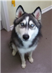 19-434 Summer grey/white female Husky