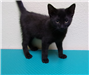 19-413 Tom 6-8 week old male black kitten