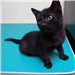 19-414 Jerry 6-8 week old male black kitten