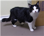 19-440 Figaro female black/white longhaired cat