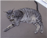 19-439 Max male black/grey striped shorthaired cat